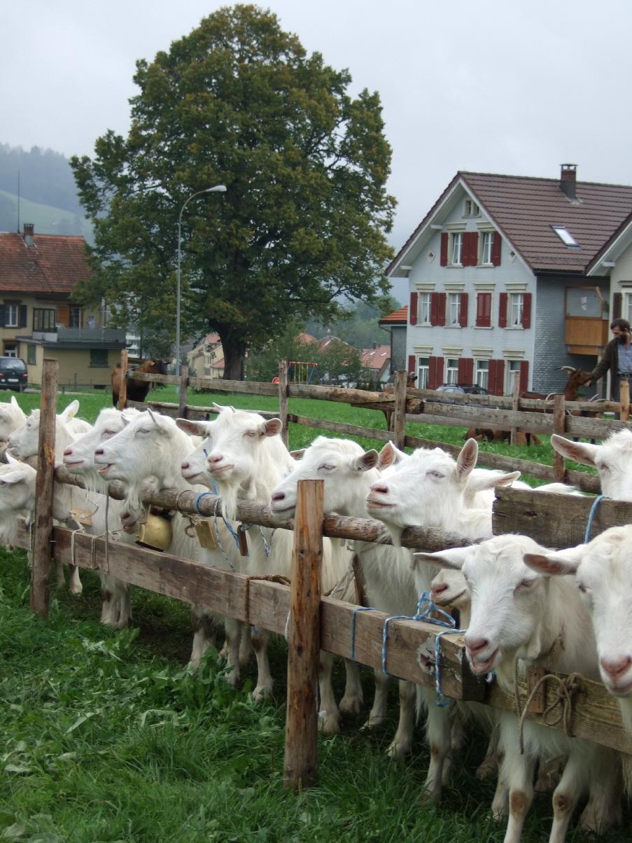 Ziegen Kaufen Bayern